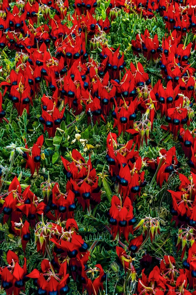 Carpet of Sturt Desert Peas