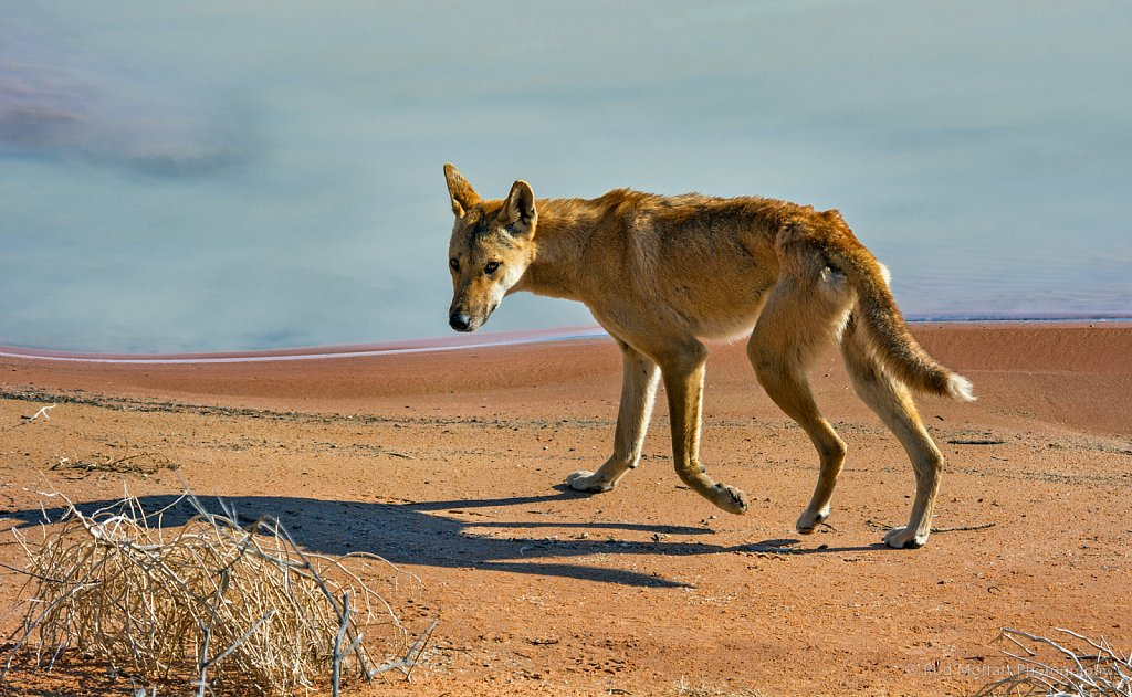 Dingo scouring shores of Coongie Lakes