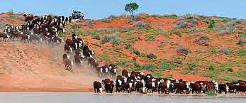 cattle-channel-country.jpg