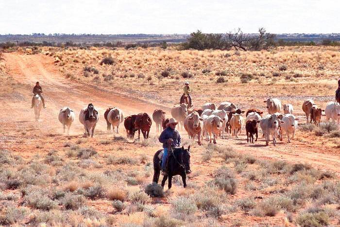 anna-creek-abc-kerry-straight-cattle.jpg